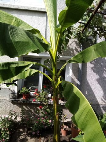 Бананова палма палми