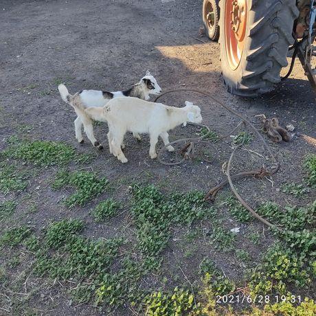 Продам козлят пароды.коза занеская нубийская козел альпиец нубиский Па