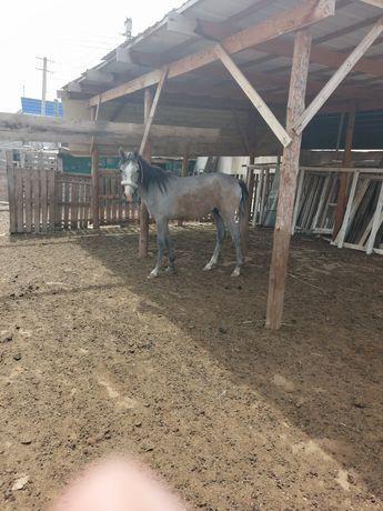 Продается конь полутора годовалый