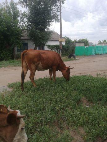 Продам дойную корову. 270 тысяч