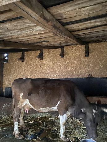 Vacă gestantă de vânzare