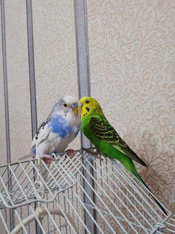 Продам пару волнистых попугаев вместе с клеткой