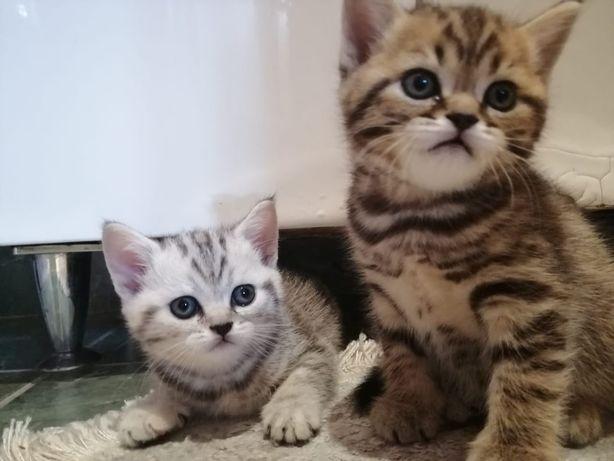 Шотландские  котята  мальчик