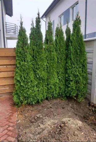 Plante ornamentale preț de producător din pepeniera proprie