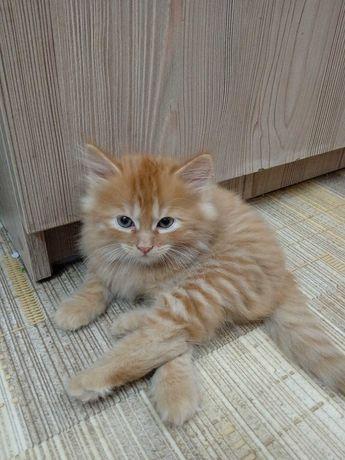 Две чудесные киски,крайне редкой для кошек(не котов) рыжей окраски.