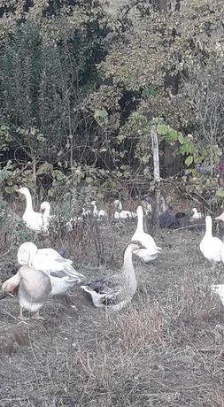 Păsări de curte de vânzare Resita si Timisoara