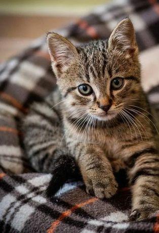 Котенок, мальчик, кастрированный