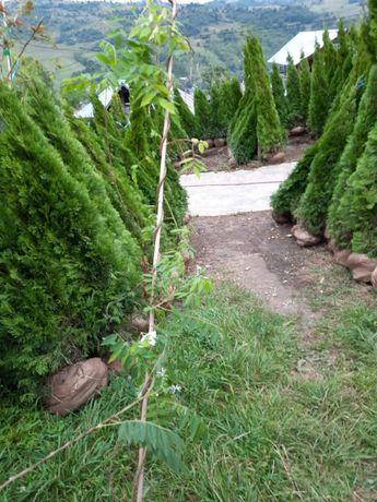 Plante ornamentale: tuia smarald/pom pon/Spirala/magnoli/brazi/pin/etc