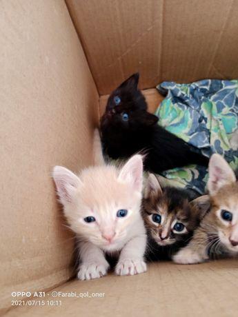Котята от чистокровной польской кошки