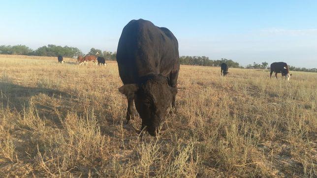 Племенной бык ,, Бурушка ,,