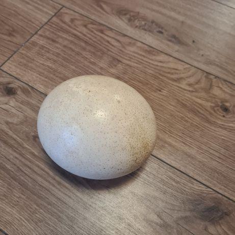 Яйце от щраус истинско