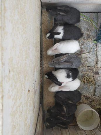 Кролики крупное.