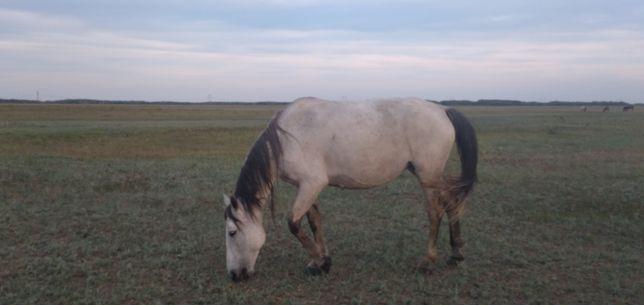 Продам лошадь 5 лет