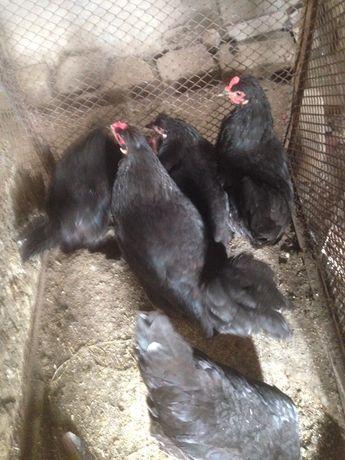 Черные куры в городе имеется доставка под по тел