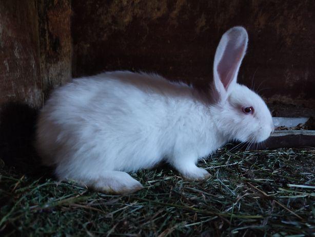 Калифорнийские Кролики разных возрастов