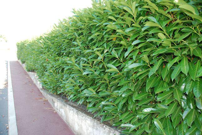 Prunus laur Caucasica