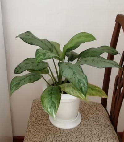 Аглаонема комнатные растения