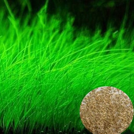 Plante acvariu - seminte - aquascaping