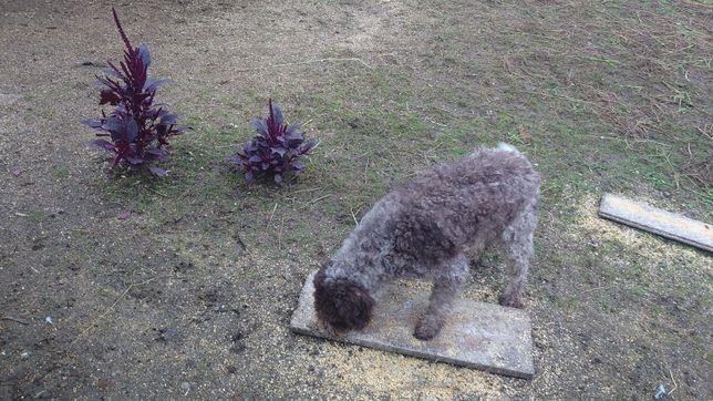 Doi câini Lagotto Romagnolo,mascul și femelă