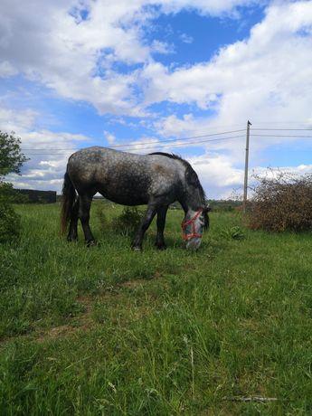 Iapă semigrea, 5 ani