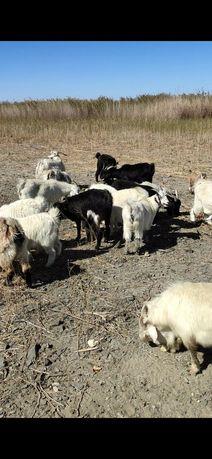 Продаются козы ешкі