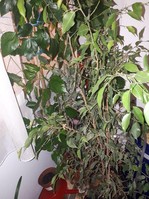 Ficus Benjamin   de vanzare Slatina - imagine 1