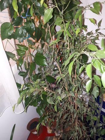 Ficus Benjamin   de vanzare