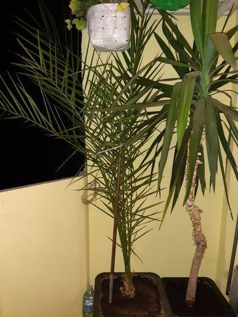 Финикова палма и юка