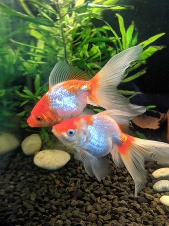 Продам золотых рыбок