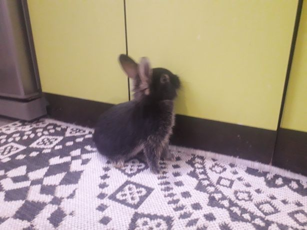Кролики декаративный на продаже
