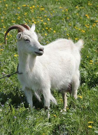 Продам срочно домашних коз