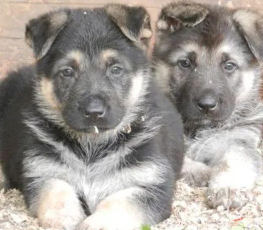продаю щенков восточно-европейской