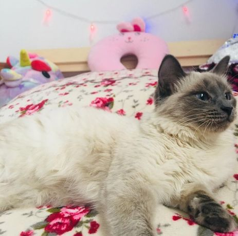 Сиамская кошка!!!