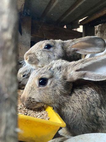 Кролики порода фландер