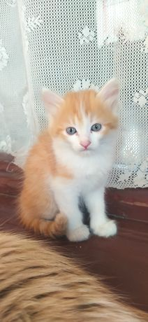 Котята от мамы Сиамской породы