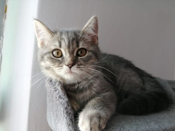 Pisică Scottish straight spotted blue