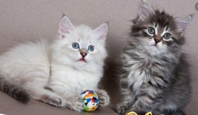 Котята сибирские 1,5 месяца