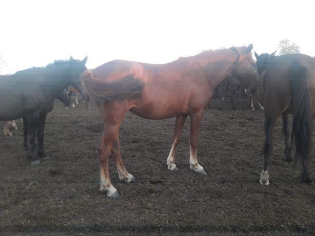 Продам Кабылу (Байтал - Лошадь)