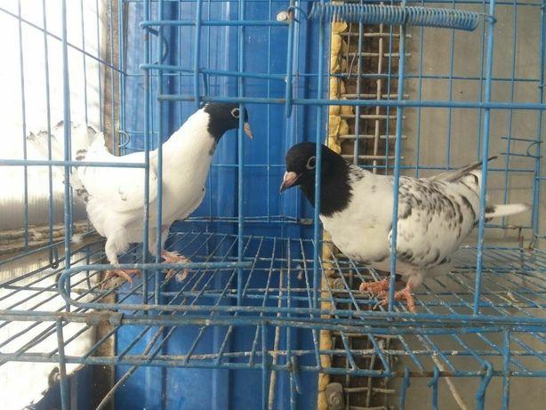 Голуби    голуби