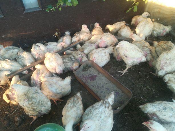Цыплята броллеры