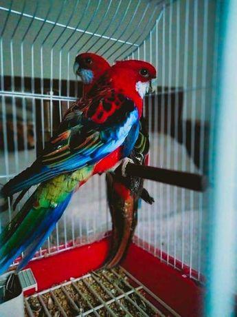 Papagali rosella