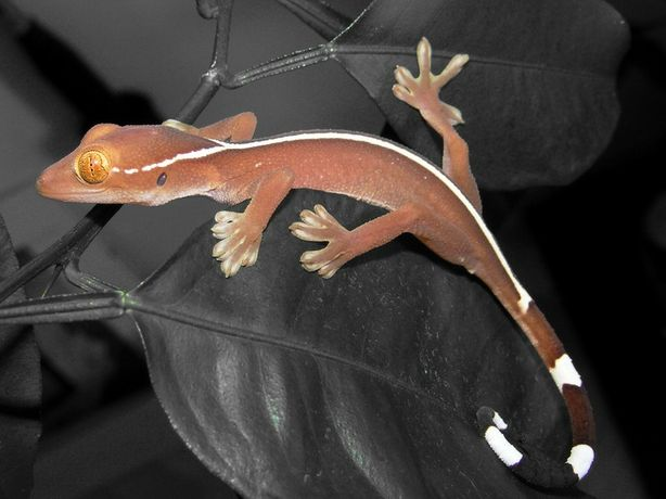 Полосатый геккон