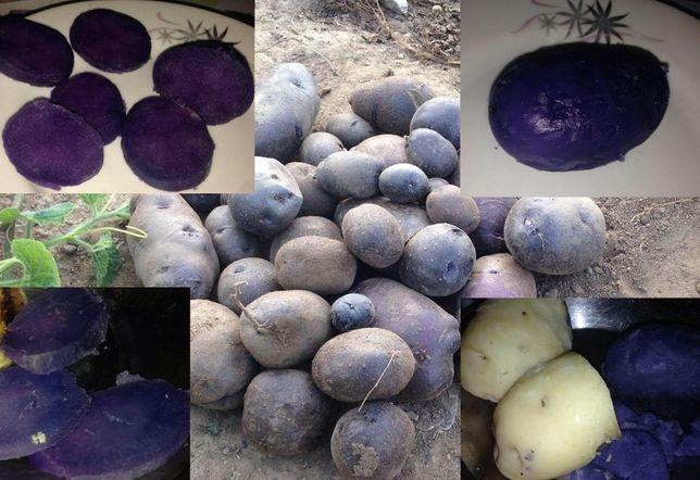 cartofi mov originali Peru