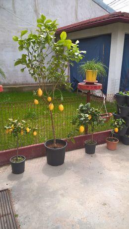 Lamai, Smochini, Lamaii, Lamai pe Rod, Lamai cu Fructe 3-5-10 Ani