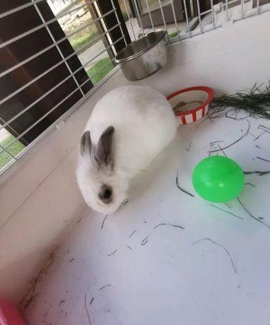 декоротивный кролик
