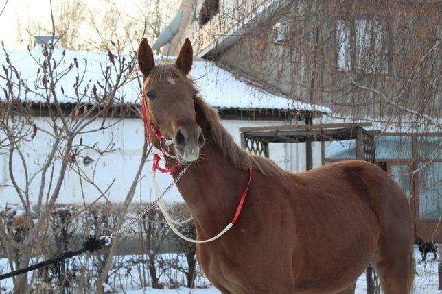 Продам лошадь, молодую полукровную кобылу по кличке Майя.