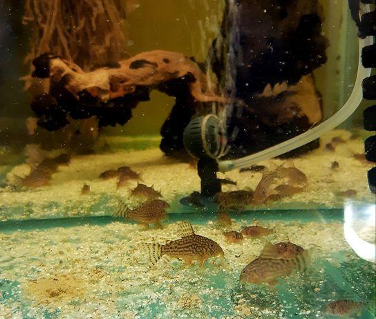 Corydoras Sterbai, pesti sanitari
