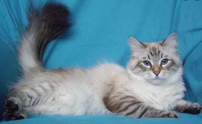 Котёнок мальчик сибирский
