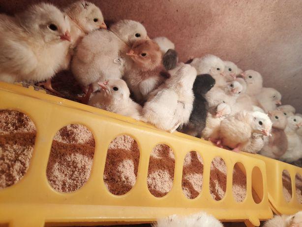 Продаю цыплята  разных парода 1шт-500тг