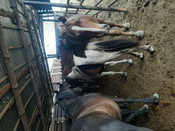 Лошади тай бие кобылы